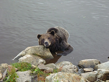 Grizzly Grouse Mountain